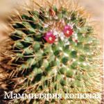 1175599161mammillaria1